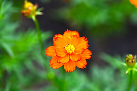 D85 9074 Orange flower from Phu Langka National Park, Thailand.jpg