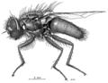 DIPT Calliphoridae Ptilonesia auronotata f.png