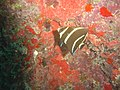 DSC00289 - peixe listrado - Naufrágio e recifes de coral no Nilo.jpg
