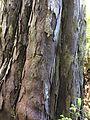 Dacrydium cupressinum bark Waipohatu Waterfall Track2 NZ.JPG