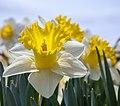 Daffodil (17320077720).jpg
