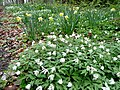 Daffodils and Wood Anemones - geograph.org.uk - 1251139.jpg