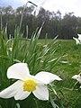 Daffodils on Mardley heath - geograph.org.uk - 161477.jpg