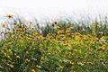 Daisies, Como Park (20983283001).jpg