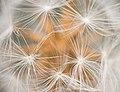 Dandelion- (48667519866).jpg