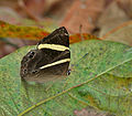 Dark Judy (Abisara fylla) at Samsing, Duars, West Bengal W IMG 6143.jpg
