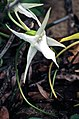 Darwin's Orchid (Angraecum sesquipedale) (8562029223).jpg