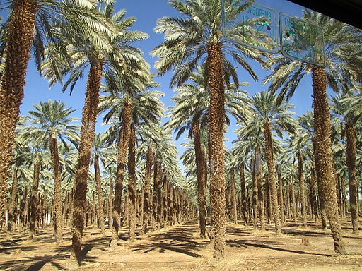 Date palm trees in Kibbutz Ketura