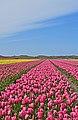 De Cocksdorp tulip fields 6.jpg