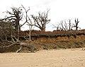 Dead trees at Easton Wood - geograph.org.uk - 2132949.jpg
