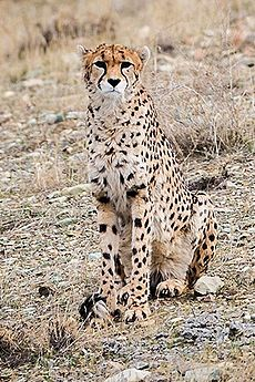 Delbar (Iranian Cheetah) 01 (cropped).jpg