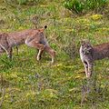 Denali lynx pair.jpg