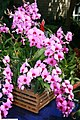 Dendrobium bigibbum 2zz.jpg