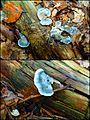 Der Blauende oder Blaue Saftporling (Postia caesia, syn. Oligoporus caesius, Spongiporus caesius) - hms(1).jpg