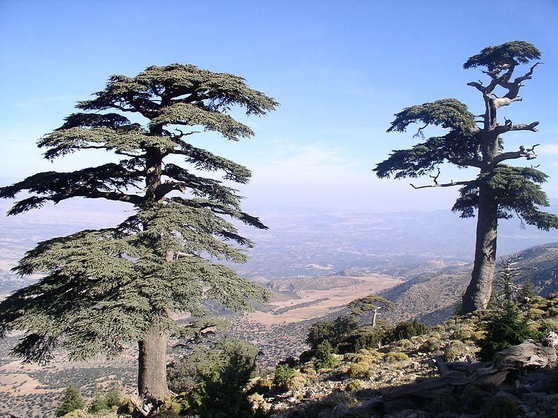 File:Des arbres du Cèdre d'Atlas Cedrus atlantica sur la montagne de Tichoukte (SIBE) province de Boulemane Maroc.jpg