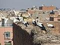 Des cigognes sur les remparts à Marrakech.jpg