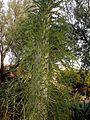 Desert Botanical Garden, Phoenix, Arizona - panoramio (3).jpg