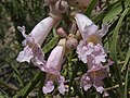 Desert willow, Chilopsis linearis ssp. arcuata (16320648774).jpg