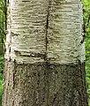 Detail van een oude berk (Betula SP). Locatie Hortus Haren 01.jpg