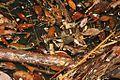 Diamond-back Water Snake (Sinonatrix aequifasciata) 環紋游蛇4.jpg