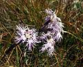 Dianthus-superbus Blütenstand 5007a.jpg