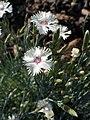 Dianthus canescens kz01.jpg