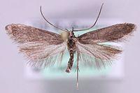 Dichomeris latipennella.jpg