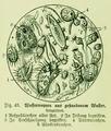 Die Frau als Hausärztin (1911) 043 Wassertropfen aus gestandenem Wasser.png