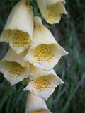 Digitalis grandiflora close-up.jpg