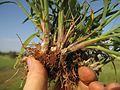 Digitaria divaricatissima42 stem base3 - Flickr - Macleay Grass Man.jpg
