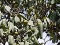 Diospyros montana Roxb. (3641001293).jpg