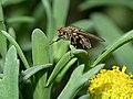 Diptera (14972342719).jpg