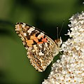Distelfalter, Vanessa cardui AUF Schmetterlingsflieder, Buddleja davidii 1.JPG