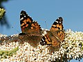 Distelfalter, Vanessa cardui AUF Schmetterlingsflieder, Buddleja davidii 2.JPG