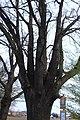 Dobroměřice, památný strom.jpg