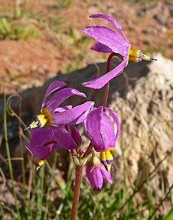 <i>Dodecatheon pulchellum</i> species of plant