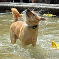 Dog in a fountain in Toronto (5831290618).jpg