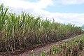 Dole Plantation (5720705661).jpg