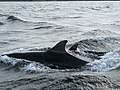 Dolphins in the Firth of Tay - geograph.org.uk - 535453.jpg