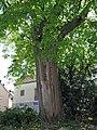 Dorflinde in Gauaschach, 1.jpg
