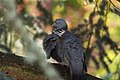 Dove In Tree (105633553).jpeg