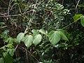Dregea volubilis (17103077340).jpg