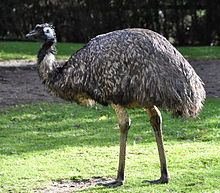 Captive Emu in Germany