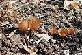 Dumontinia tuberosa kz04.jpg