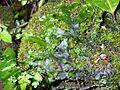 Dumortiera hirsuta with Sematophyllum sp.jpg