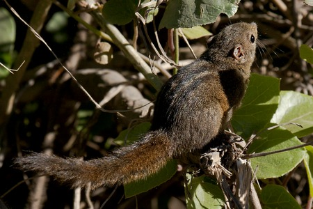 Dusky striped squirrel by N A Nazeer.tif