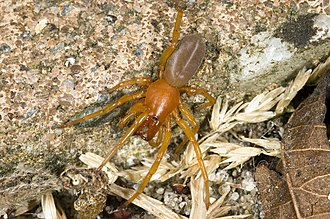Woodlouse - The specialist predator Dysdera crocata feeds exclusively on woodlice.
