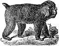 EB1911 Primates - Tibet Macaque.jpg