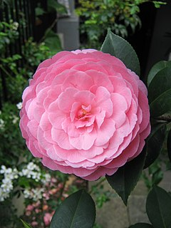 Australian linguist and camellia expert