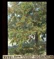 ETH-BIB-Sierre, Kirschbaum in Früchten-Dia 247-13253.tif